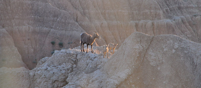 Big Horn Sheep on a Mountain